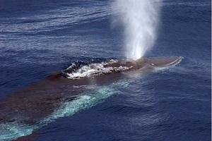 クジラの潮吹き