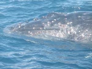 クジラフジツボ