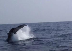クジラペダンクル
