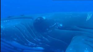 ザトウクジラ目