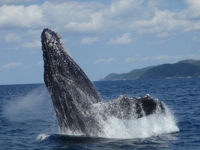 座間味クジラ